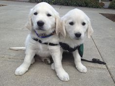 Meet Major and Mabel! Autism Service Dogs of America's two newest additions :) I will be Mabel's puppy raiser!
