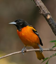 Flickriver: Most interesting photos tagged with baltimoreoriole