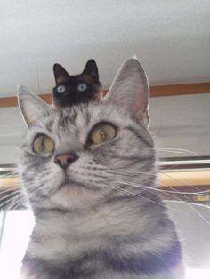 adriofthedead:  catsandkitten:  Cat hat - My Neighbor Totoro - Super new trend is cat hats…