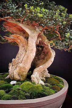 European bonsaï San Show Saulieu France Indoor Bonsai Tree, Bonsai Plants, Boxwood Bonsai, Garden Terrarium, Bonsai Garden, Stone Landscaping, Bonsai Styles, Miniature Trees, Tree Care