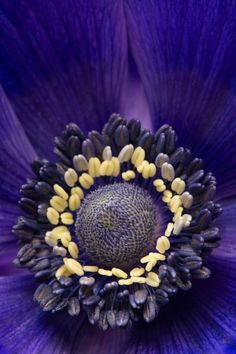 "Purple Anemone... Gorgeous! I love to say that word, ""a-ne-mo-ne""!"