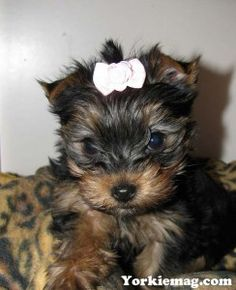 Teacup Yorkie Price How Much Does a Teacup Yorkie Cost
