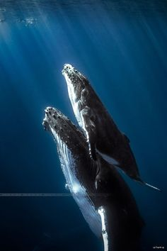 """Humpback whales mommy with is """"little"""" baby"""