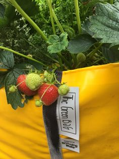 Here's a little close up of one of our Green Bags! Is it not gorgeous? Urban Planters, Red Photography, Big Garden, Healthy Vegetables, Green Bag, Fresh Herbs, Garden Furniture, Strawberries, Gardening