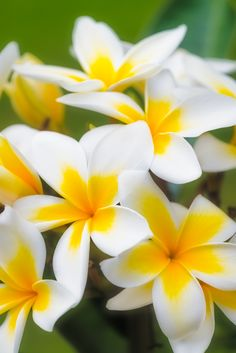 Plumeria | by jimmy Baker on 500px