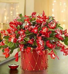 Did your Christmas Cactus bloom this year? Here are our tips for keeping a Christmas Cactus blooming Cacti And Succulents, Planting Succulents, Cactus Plants, Garden Plants, House Plants, Planting Flowers, Easter Cactus, Cactus Flower, My Flower