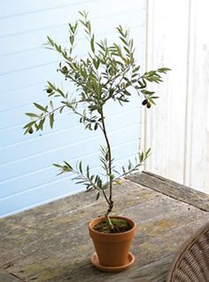 indoor olive tree- this would be so fun! Esp if I could pick the olives and try to cure them...!!