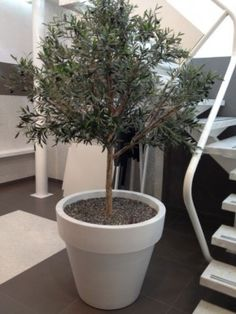 Olijfboom in pot, leuk voor in huis of in kleine tui/ patio