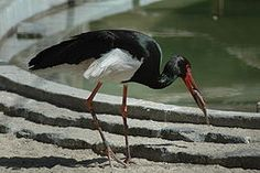 Black Stork - Ciconia nigra.jpg