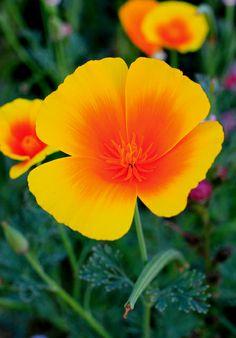 California poppy - I love poppies! <3 ChristinaMarita.com
