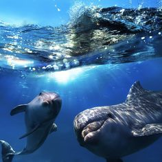 Tow dolphins underwater. -  Image credit: Shutterstock / Willyam Bradberry - http://earthsky.org/science-wire/dophins-call-each-other-by-name