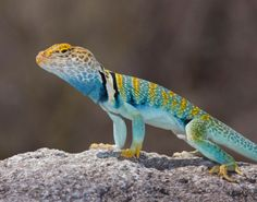 eastern collared lizard Small Lizards, Pet Lizards, Cute Creatures, Beautiful Creatures, Green Iguana, Rainforest Animals, Reptiles And Amphibians, Exotic Pets, Predator