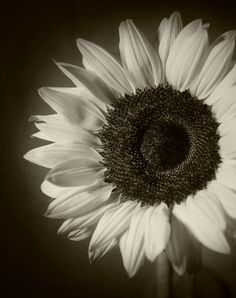 Sunflower Photography Floral Original Print Fine Art Black And White Photograph