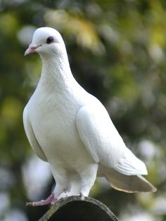 Pigeon by on DeviantArt Dove Images, Dove Pictures, Jesus Pictures, Nature Pictures, White Pigeon, Dove Pigeon, Pigeon Bird, Nature Story, All Nature