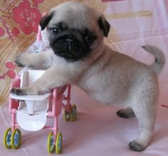 Pug pup wants her own pug pup
