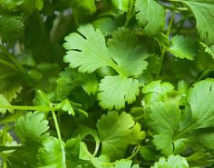 Try growing cilantro for fresh flavor in everything from salsa to marinade. Cilantro prefers cool weather, so plant in spring or fall. Plants reseed readily. Herbal Remedies, Health Remedies, Home Remedies, Natural Remedies, Cannabis, Marijuana Plants, Fresco, Diy Design, Herb Seeds
