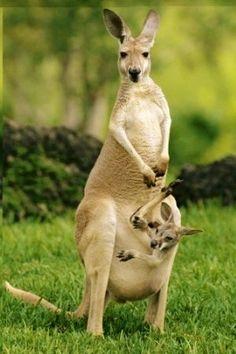 Mamá y cría canguro