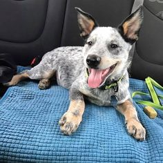 Dog Care Information for Feeding a New Puppy Yall ready for this Friday flashback? #ace #acd #blueheeler #acetheacd #australiancattledog #heeler #puppy...