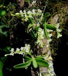Bonatea cassidea plants growing as epiphytes, in Zimbabwe, Photo courtesy of Bart Wursten ©
