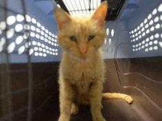 Brooklyn Center DANISH – A1077184 FEMALE, ORANGE, DOMESTIC SH MIX,5 yrs STRAY – STRAY WAIT, NO HOLD Reason STRAY Intake condition ILLNESS Intake Date 06/12/2016, From NY 11433, DueOut Date 06/15/2016, Medical Behavior Evaluation No Initial Behavior Medical Summary Scan Negative Female EENT- Ears diry. Eyes Crusty and had discharge in them.; Nose- Congested with some nasal discharge.Throat clear. Coat in horrible condition,Scabs all in coat as well.