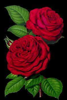 Red Wallpaper, Tumblr Wallpaper, Flower Wallpaper, Wallpaper Backgrounds, Beautiful Gif, Beautiful Roses, Cellphone Wallpaper, Iphone Wallpaper, Flowers Gif