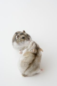 Two Hamsters Stock Photo 74449897