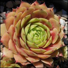 Sempervivum 'China Doll' China Dolls, Artichoke, Succulents, Gardening, Vegetables, Plants, Design, Little Cottages, Flowers