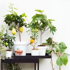 Set 4 ou 8 Arbres Fruitiers Méditerranéens - Figues, Olives, Oranges, Citron