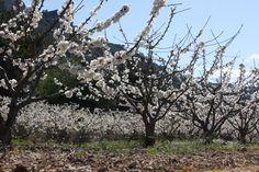 Cerezos en flor en el Vall de Gallinera (Alicante), Spain.