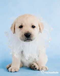Pippa (Labrador) - But I want to go to to ballet school, not puppy school!  (pic by Rachael Hale)