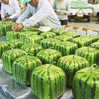 Square Melons, grown by Japanese farmers in glass cases, fit more neatly into your bento box, uh refrigerator.