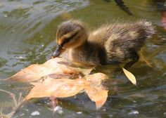 duckling. . I want one!!!!!