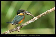 【とり、鳥、Bird】 American Pygmy Kingfisher (The little one) de Álvaro Cubero Vega en 500px.com