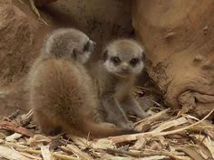 A couple of cute newborn baby meerkats from Chester zoo, England
