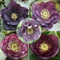 1. Ashwood Garden Hybrids  Dark Doubles Collection