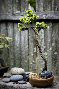 bonsai: