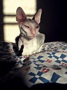 Teta aka Fancy Cornish Rex cat