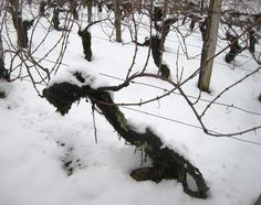One of the oldest vines in the Arbois vineyards - Chardonnay planted in 1914.