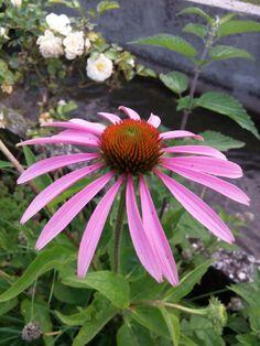 echinacea il fiore
