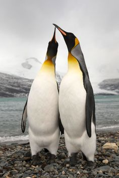 """expressions-of-nature: """"Peggortty Bluff Kings by: Oliver Prince"""" Penguin Bird, King Penguin, Penguin Love, Cute Penguins, Penguin Parade, Types Of Animals, Animals And Pets, Baby Animals, Cute Animals"""