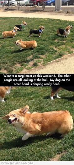 Have you ever seen a Corgi in full derp mode? <--- yes... I have owned three XD