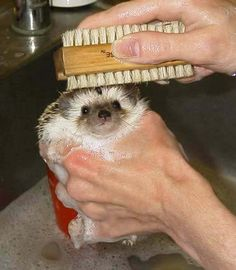 HOW TO CARE FOR YOUR HEDGEHOG