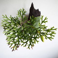 house plants for a healthy home Rare Plants, Exotic Plants, Tropical Plants, Air Plant Display, Plant Decor, Hanging Plants, Indoor Plants, Succulents Garden, Planting Flowers