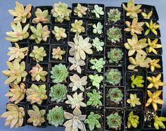Buy Succulents Online, Fruit, Plants, Plant, Planets