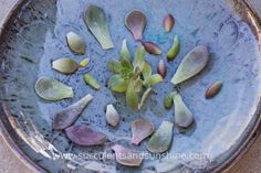 Group of succulent leaves ready to propagate