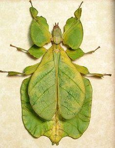 Gray's Leaf Insect, Phyllium bioculatum