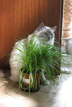 Special grass for the cats