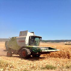 Estamos cosechando maíz!