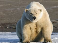 A first-ever effort to gauge the ecological status of all 11 species of marine mammals living in the Arctic reveals a mixed picture—and a lot of missing information. Researchers found that although some populations appear to be coping with climate change, others are in decline. Overall, however, scientists found that little information is available on most of the 78 known populations.