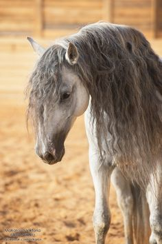Grey Andalusian horse with a beautiful long mane.